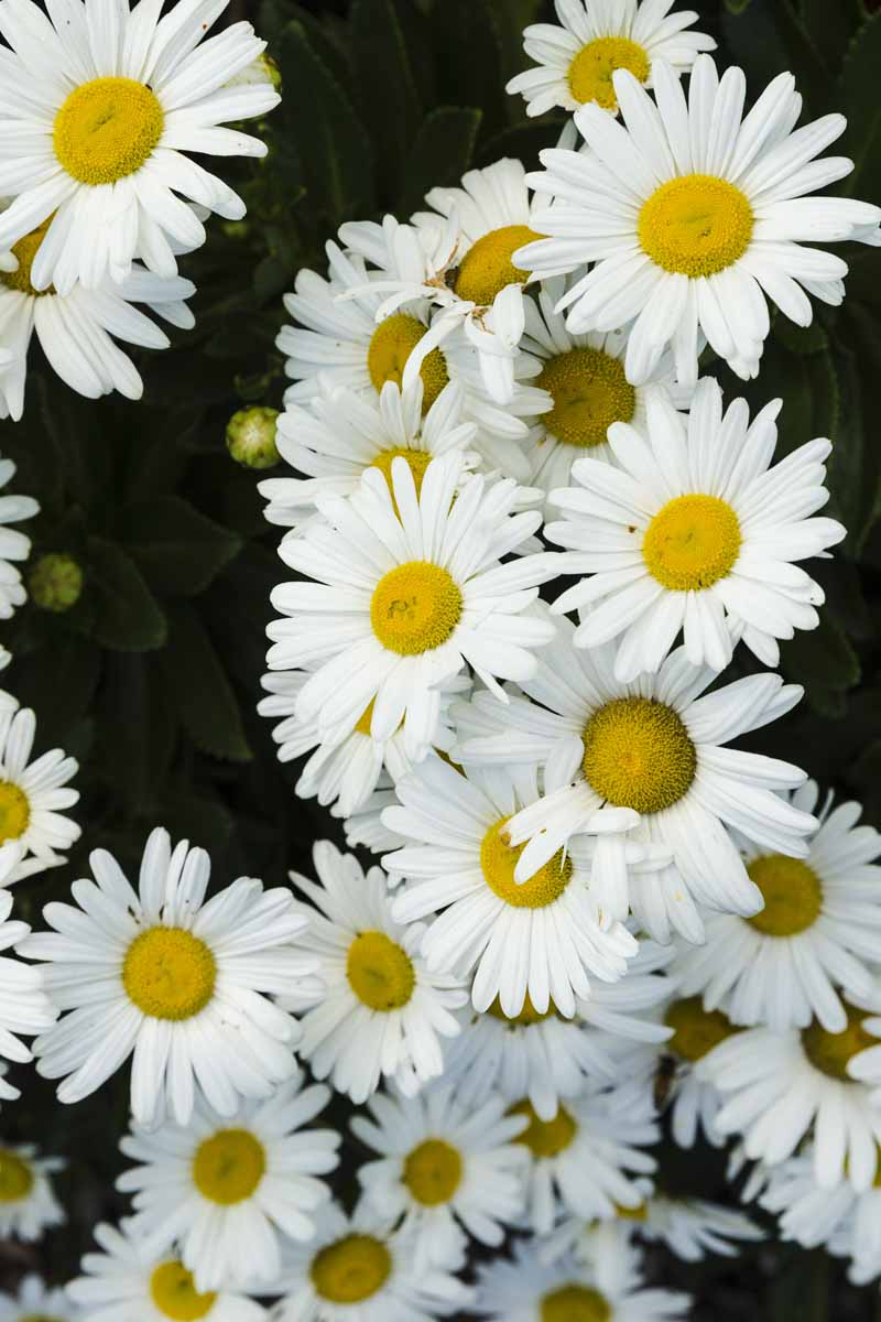 A close up vertical image of Montauk daisy flowers (Nipponanthemum nipponicum) pictured on a soft focus background.