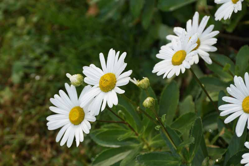 A close up horizontal image of Montauk daisies (Nipponanthemum nipponicum) growing in the garden pictured on a soft focus background.