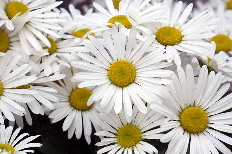 A close up horizontal image of white Nippon daisies growing in the garden pictured on a soft focus background.