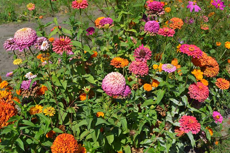 A horizontal image of a garden border filled with colorful annual flowers pictured in bright sunshine.