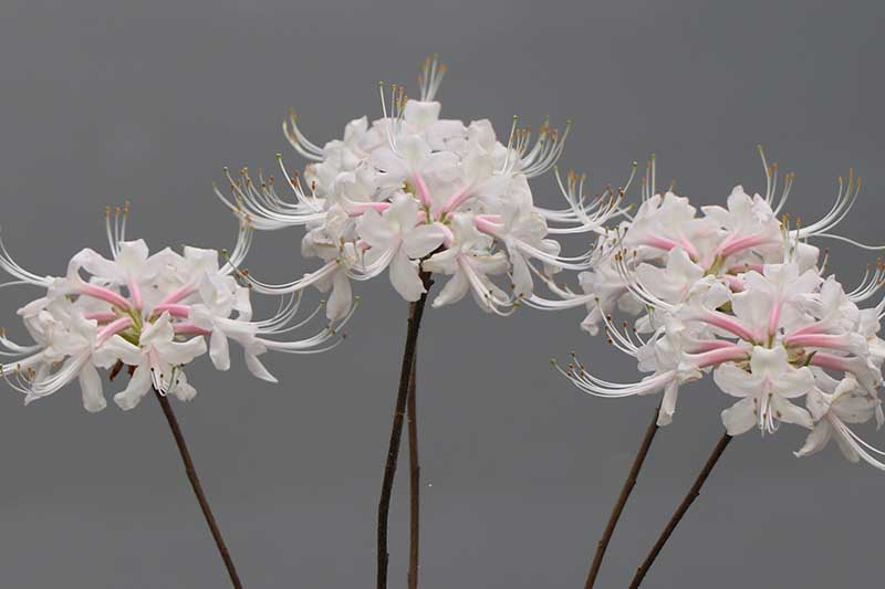 A close up horizontal image of pink and white Rhododendron alabamense cut flowers pictured on a gray background.