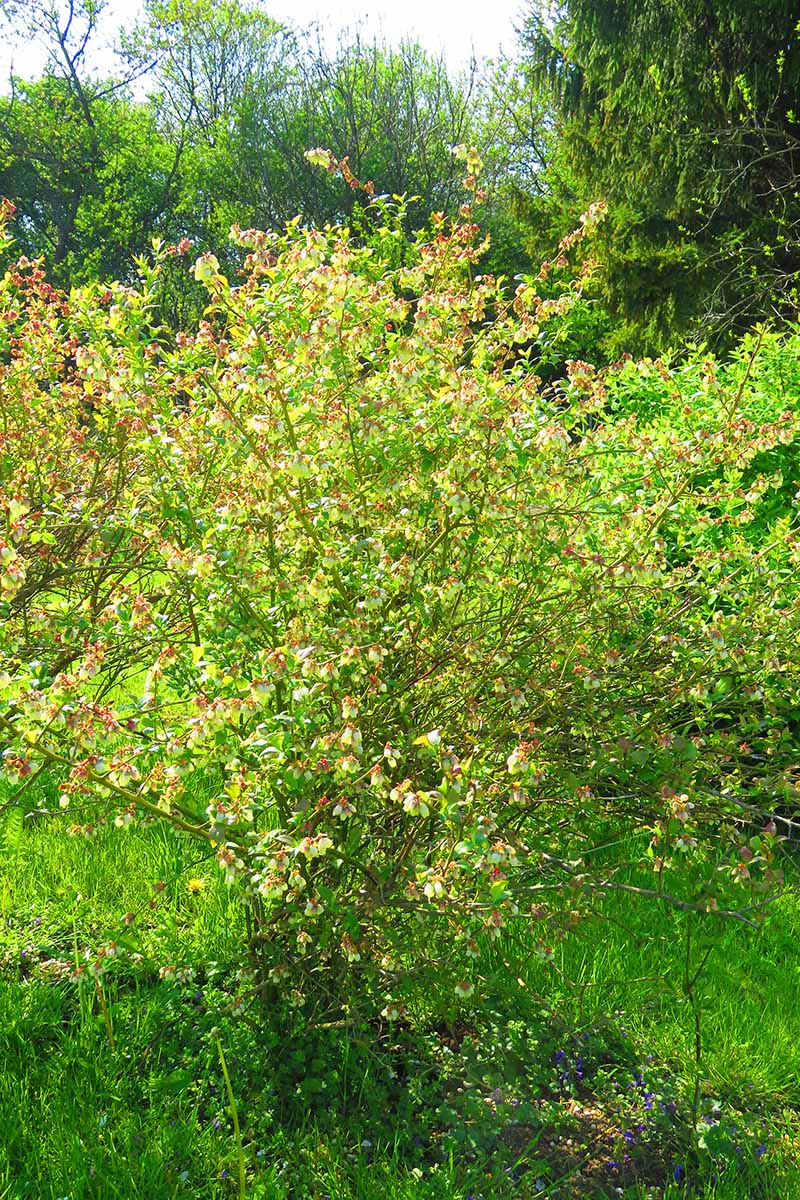 A close up vertical image of a northern highbush blueberry shrub growing in the garden with trees in soft focus in the background.