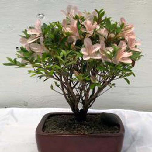 A close up square image of an Obtusum azalea with light pink flowers trained as a bonsai tree in a small brown ceramic pot set on a white surface.