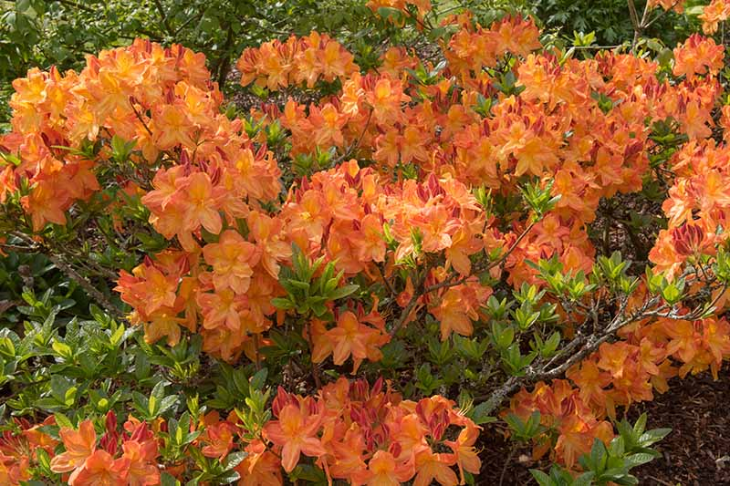 A close up horizontal image of clusters of orange flowers and light green foliage of a Mollis azalea shrub growing in the garden.