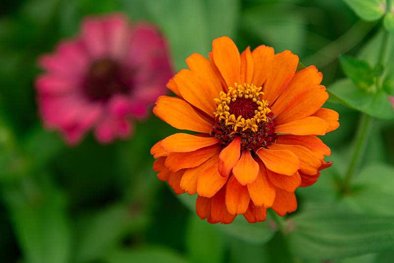 A close up horizontal image of an orange Z. elegans flower growing in the garden pictured on a soft focus background.