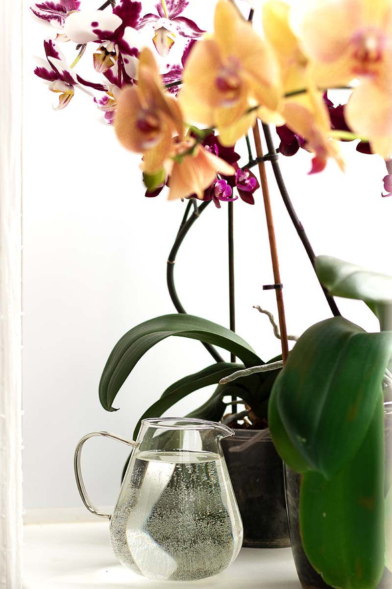 A close up vertical image of two different types of orchids set on a window ledge with a jug of water to the left of the frame.