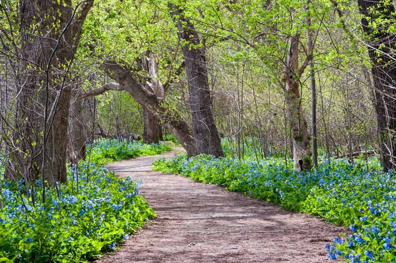 A horizontal image of a pathway through a forest flanked with bright blue Virginia bluebell flowers (Mertensia virginica).