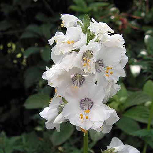A close up square image of the white flowers of Polemonium caeruleum 'Pearl White' pictured on a soft focus background.