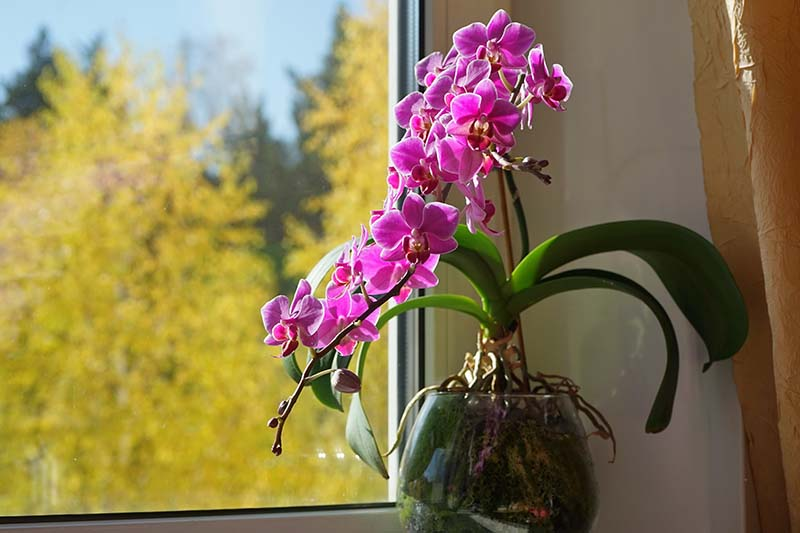 A close up horizontal image of bright pink Phalaenopsis flowers growing in a pot on a sunny windowsill.