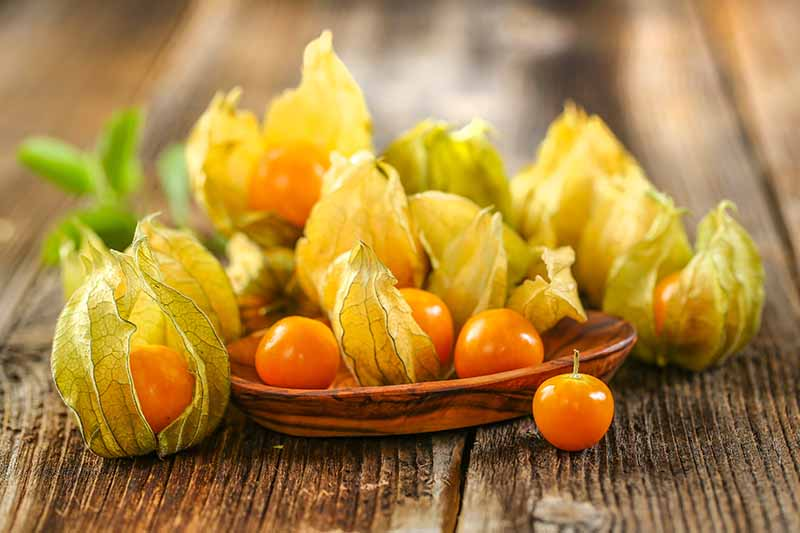 A close up horizontal image of fresh ground cherries set on a wooden plate on a wooden table fading to soft focus in the background.