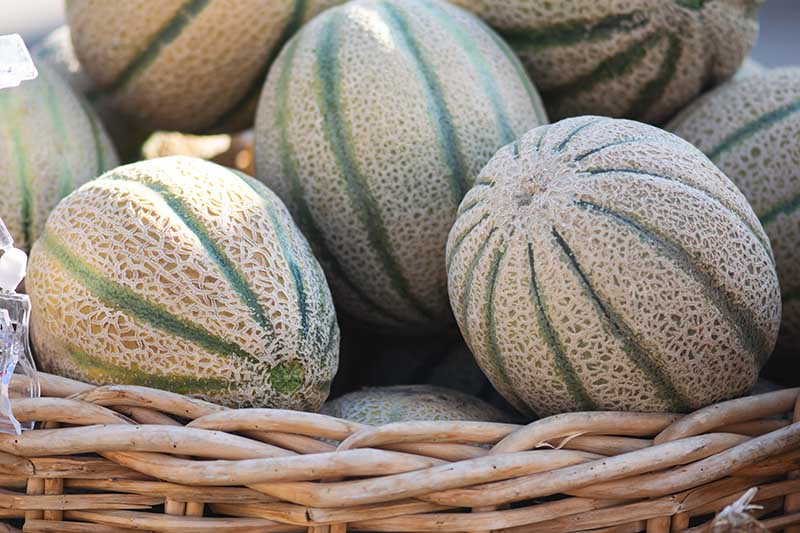 A close up horizontal image of a pile of striped muskmelons in a wicker basket.