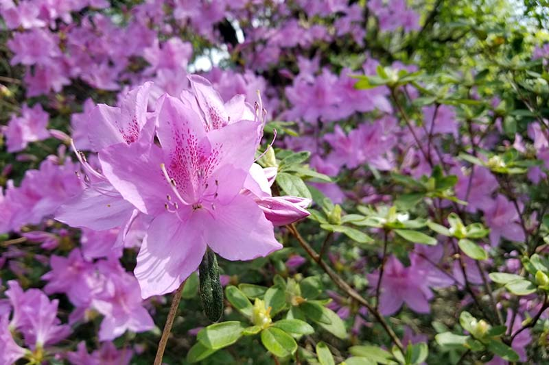 A close up horizontal image of pink azaleas growing in a shady spot in the garden.
