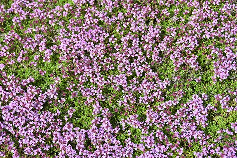 A close up horizontal image of Thymus praecox growing as a decorative ground cover.