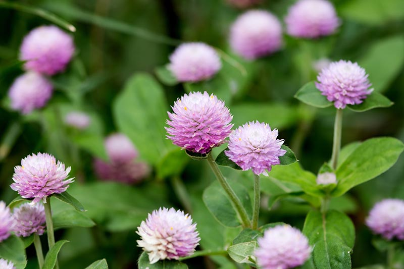 A close up horizontal image of pink Gomphrena globosa flowers growing in the garden pictured on a soft focus background.