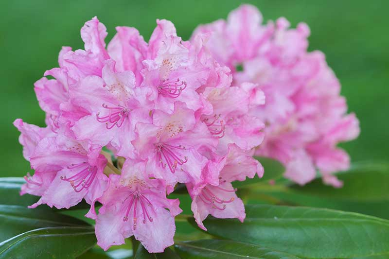 A close up horizontal image of bright pink flowers on a green soft focus background.