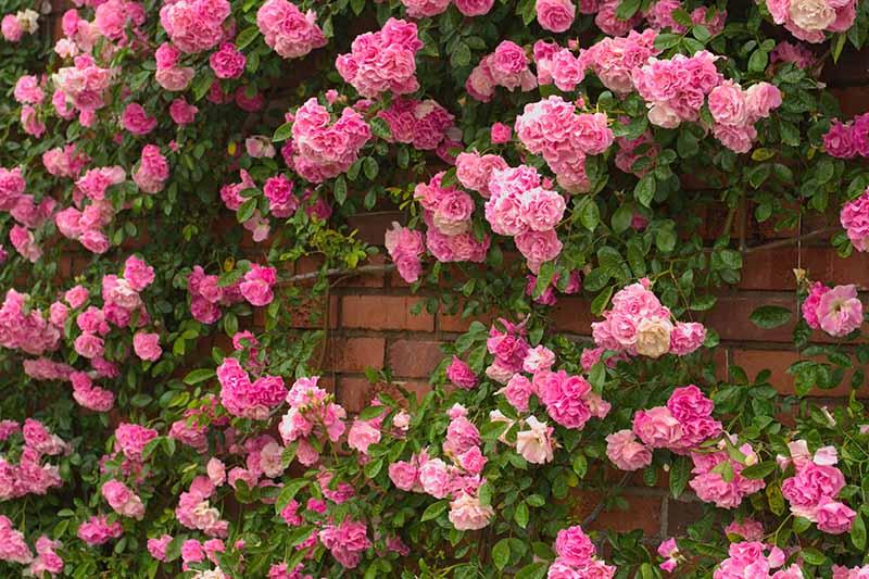 A close up horizontal image of pink roses growing up a brick wall.