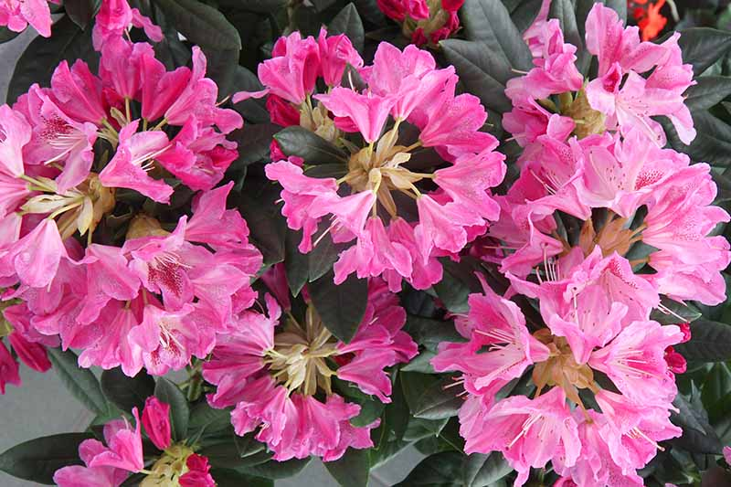 A close up horizontal image of bright pink Satsuki, aka southern indica azalea flowers, with dark green foliage in the background.