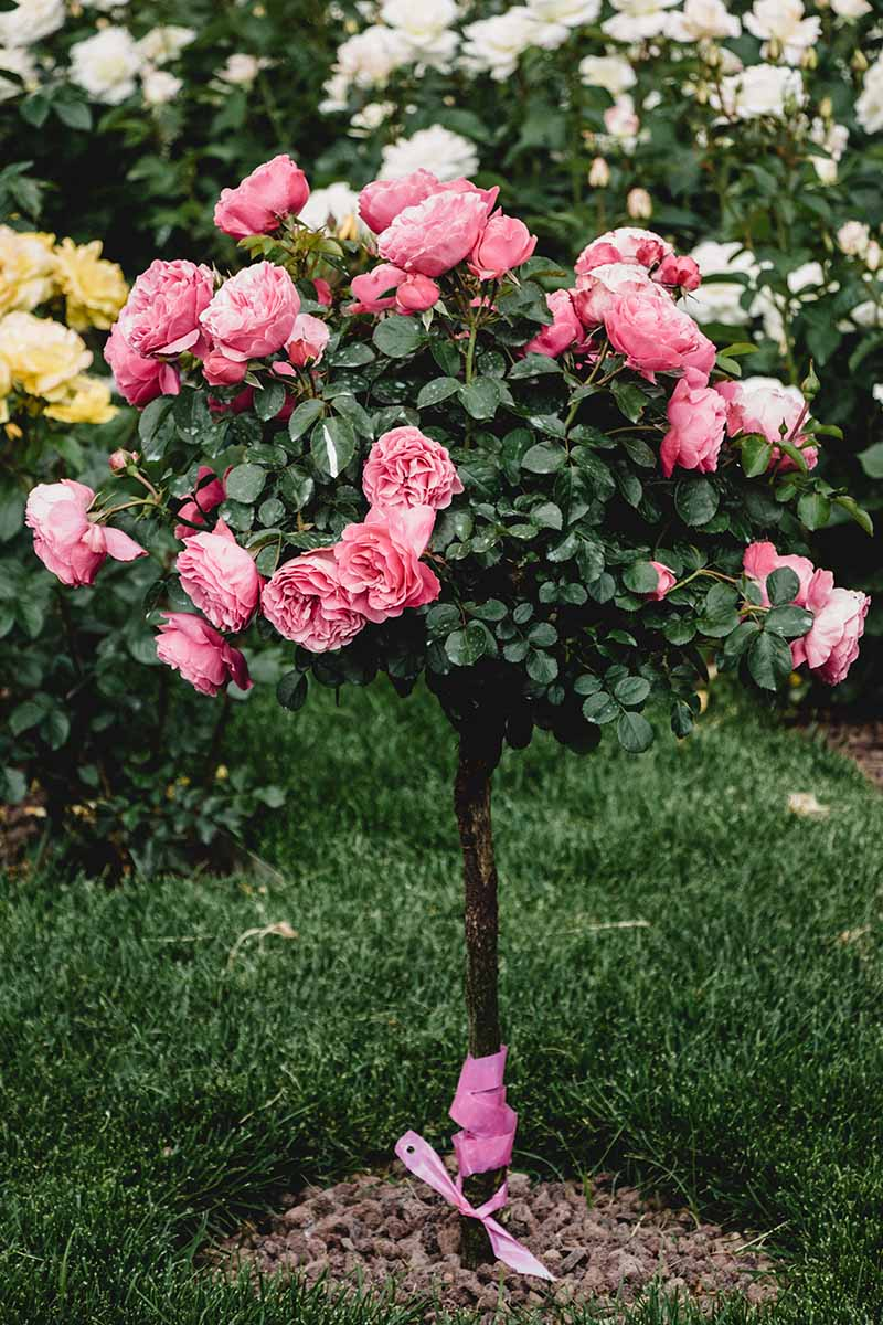 A close up vertical image of a tree type rose growing in the garden with bright pink flowers with other blooms in soft focus in the background.