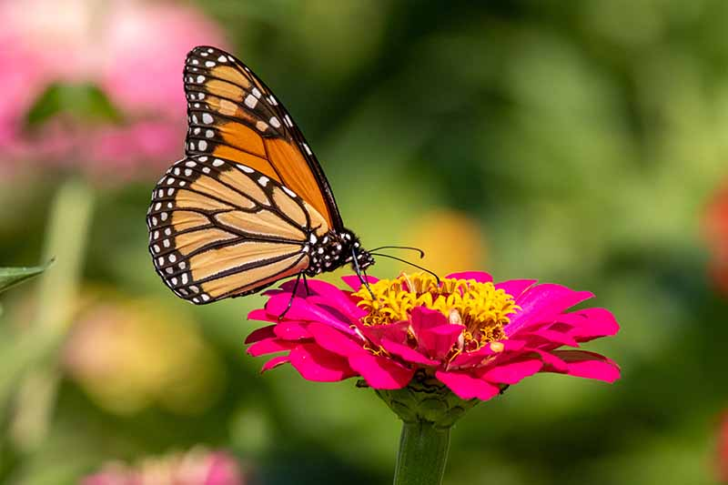 A close up horizontal image of a Monarch butterfly feeding on a pink flower pictured in bright sunshine on a soft focus green background.