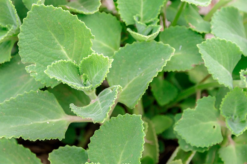 A close up horizontal image of a mature Cuban oregano plant with succulent green foliage growing in the garden.