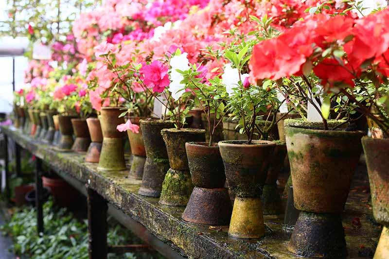 A horizontal image of rows of azalea shrubs in terra cotta pots on a wooden shelf.