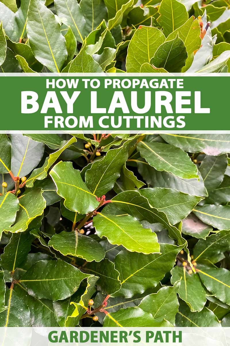 A close up vertical image of bay laurel foliage growing in the garden. To the top and bottom of the frame is green and white printed text.