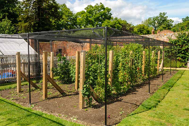 A horizontal image of a neat and tidy berry patch covered with a frame and netting with a garden scene and brick wall in the background.