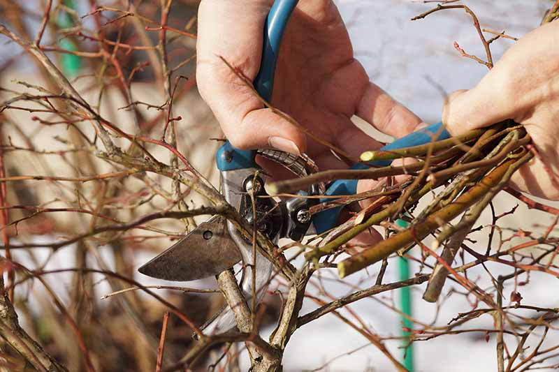 A close up horizontal image of two hands from the right of the frame pruning a Vaccinium shrub in the winter.