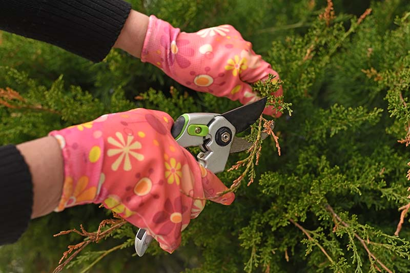 A close up horizontal image of two gloved hands from the left of the frame holding pruning shears and cutting off brown leaves from a conifer.