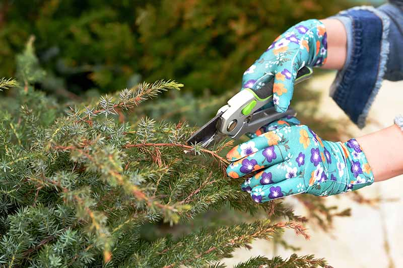 A close up horizontal image of two gloved hands from the right of the frame pruning a shrub in the garden.
