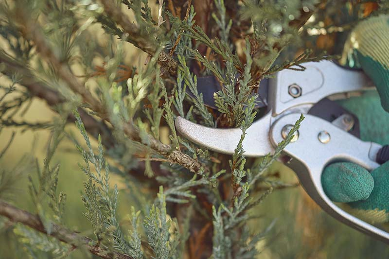 A close up horizontal image of a gloved hand from the right of the frame pruning the branches of a juniper tree.