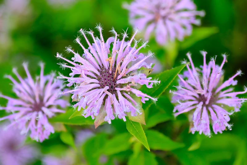 A close up horizontal image of purple flowers pictured on a soft focus green background.