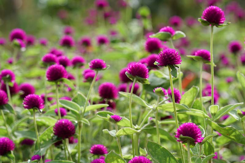 A close up horizontal image of purple Gomphrena globosa (globe amaranth) flowers fading to soft focus in the background.