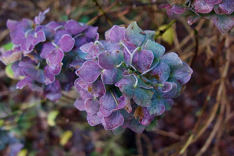 A close up horizontal image of purple hydrangea flowers in the winter months pictured on a soft focus background.