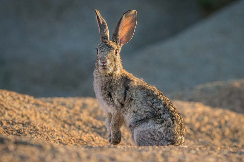 A close up horizontal image of a small rabbit pictured in light sunshine on a soft focus background.