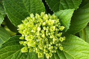 7 Reasons Why Your Hydrangea May Not Bloom