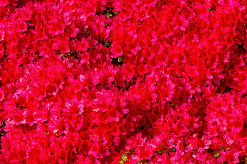 A close up horizontal image of a large swath of bright red Encore azaleas growing in the garden.
