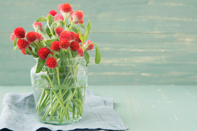 A close up horizontal image of a vase of red flowers set on a light blue cloth pictured on a light green background.