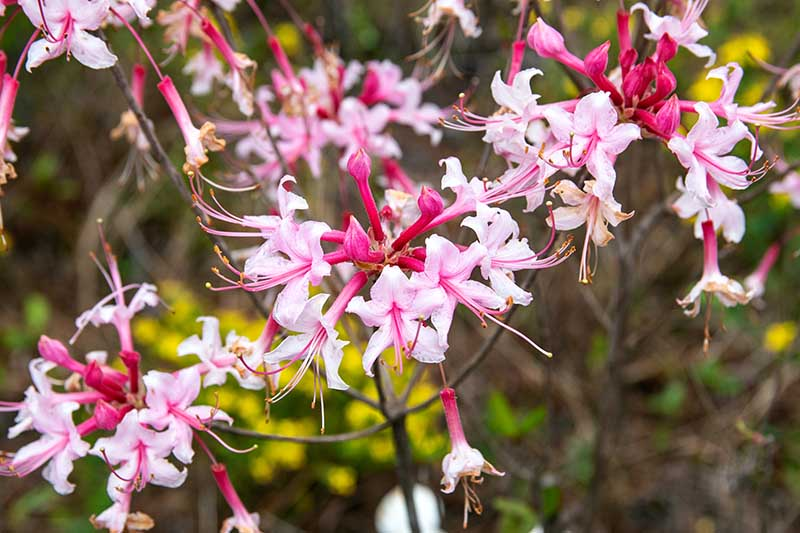 A close up horizontal image of the flowers of the Florida pinkster pictured on a soft focus background.
