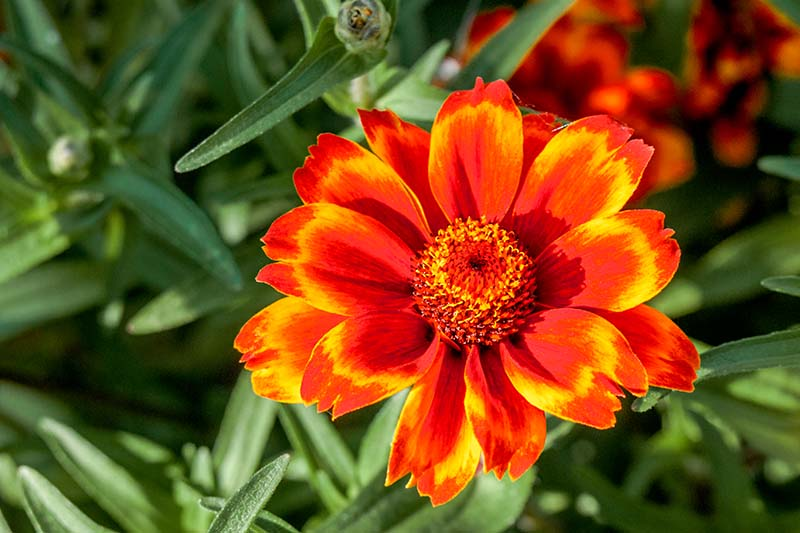A close up horizontal image of a dazzling red and yellow Mexican zinnia flower growing in a sunny spot in the summer garden pictured on a soft focus background.