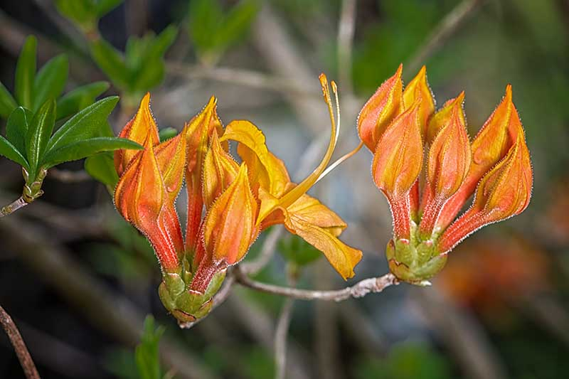 A close up horizontal image of flame azalea flower buds just starting to open up pictured on a soft focus background.