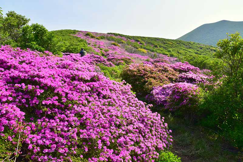 A horizontal image of bright pink flowers covering a hillside among a variety of shrubs.
