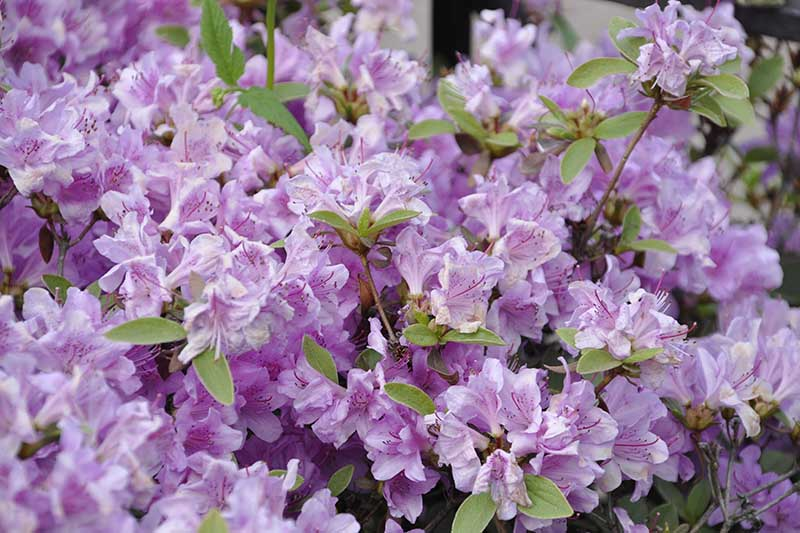 A close up horizontal image of the light purple flowers of the Yodogawa azalea, Rhododendron yedoense, pictured on a soft focus background.