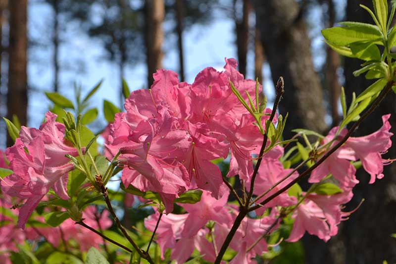 A close up horizontal image of pink flowers of Rhododendron prinophyllum growing on the edge of a forest with trees and blue sky in soft focus in the background.
