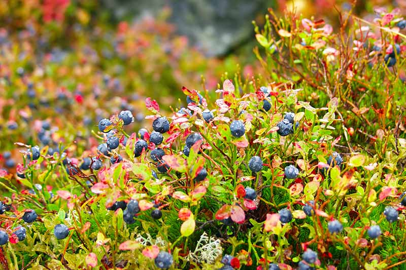 A horizontal image of ripe blueberries growing on the bush in early fall pictured on a soft focus background.