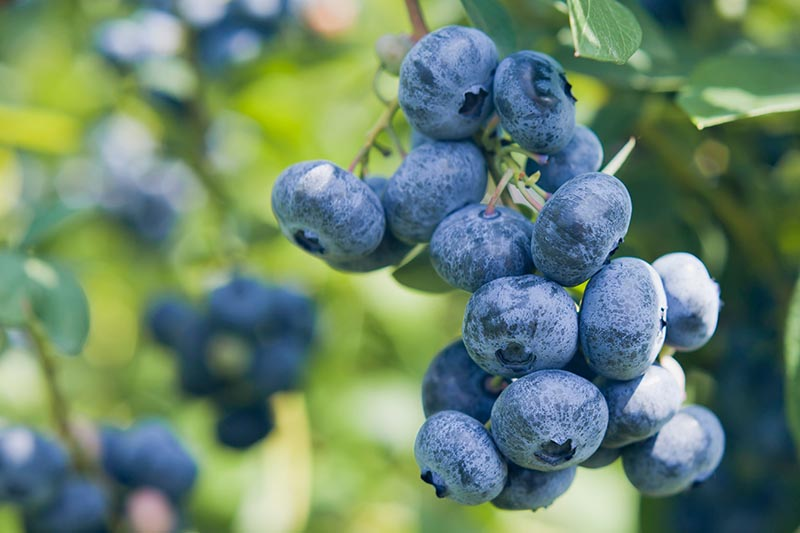 A close up horizontal image of a cluster of blueberries ready to harvest pictured on a soft focus background.