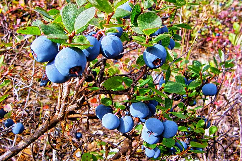 A close up horizontal image of ripe homegrown blueberries ready to harvest.