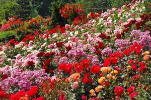 How Many Types of Roses Are There? A Guide to Rose Classification