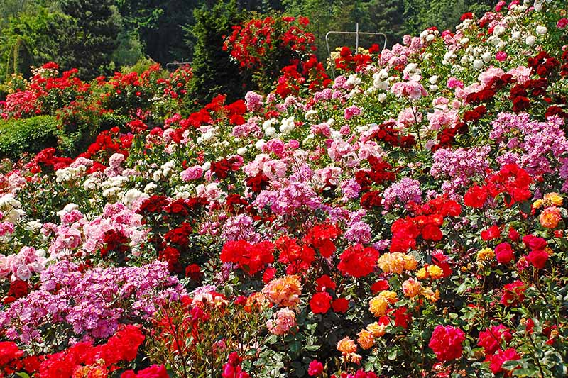 A horizontal image of different colors and types of roses growing in a large swath in the garden, pictured in bright spring sunshine.