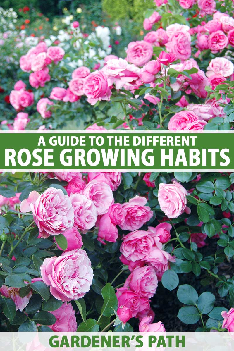 A close up vertical image of bright pink roses growing in the garden. To the center and bottom of the frame is green and white printed text.